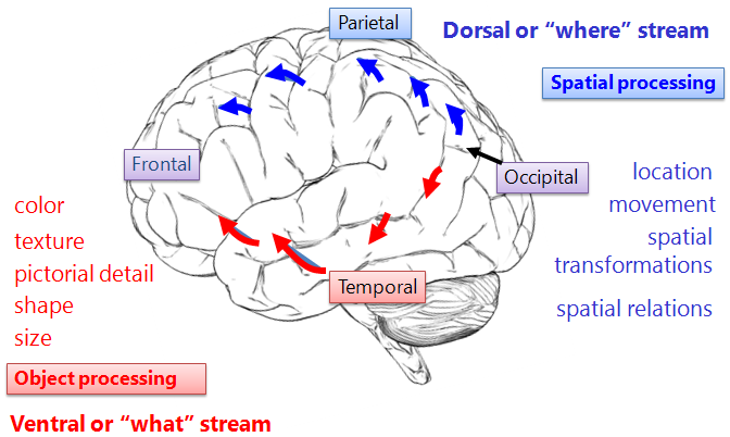 Ventral-Dorsal Stream