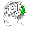 Occipital-lobe1