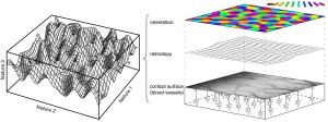 cortical twist