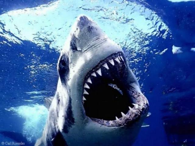 shark,jpg
