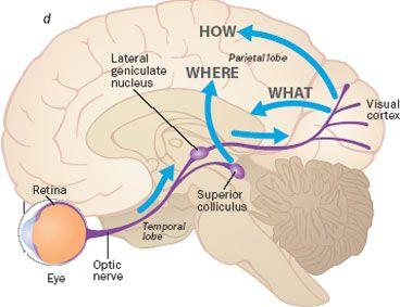 Brain Visual Pathway Graphic