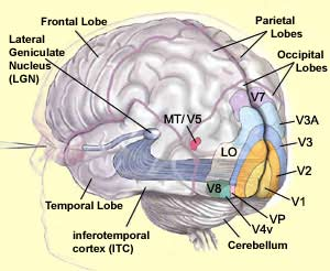 Visual Areas of Brain