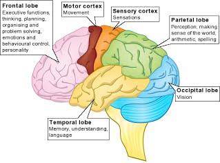 Brain Function Lobes